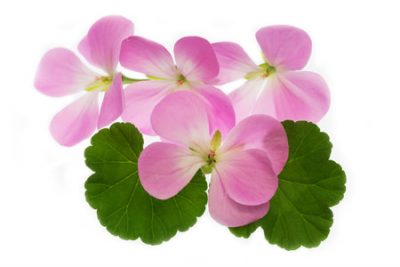 Pure Essential Oil of Geranium