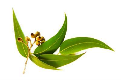 Pure Essential Oil of Tea Tree