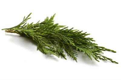 Pure Essential Oil of Cypress Wild